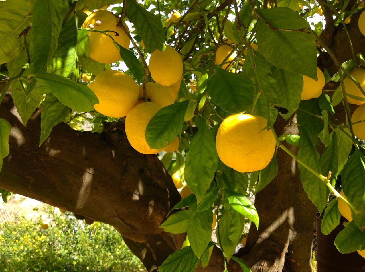Su fruto, el limón es ideal para prevenir muchas complicaciones de Salud.